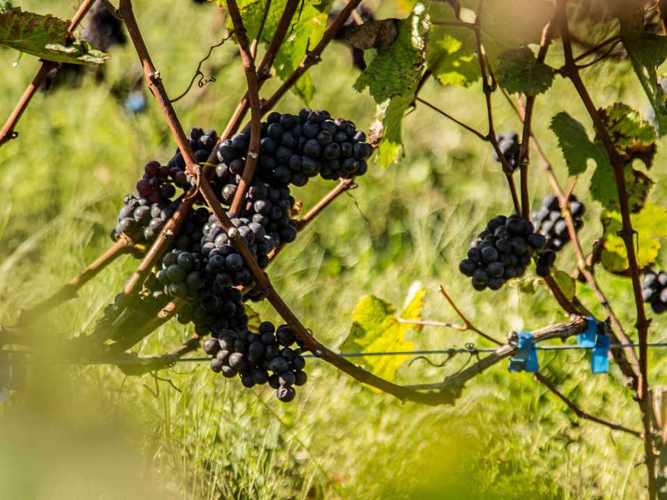 Vignoble alcool alimentation Vignoble et Domaine Beauchemin Yamachiche Québec Ulocal produit local achat local produit du terroir