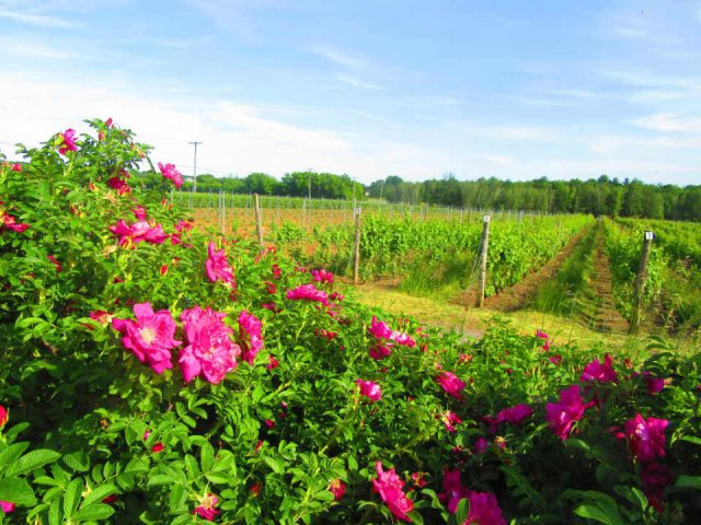 Vineyard organic wines Vineyard Les Pervenches Farnham Quebec Ulocal local product local purchase local product