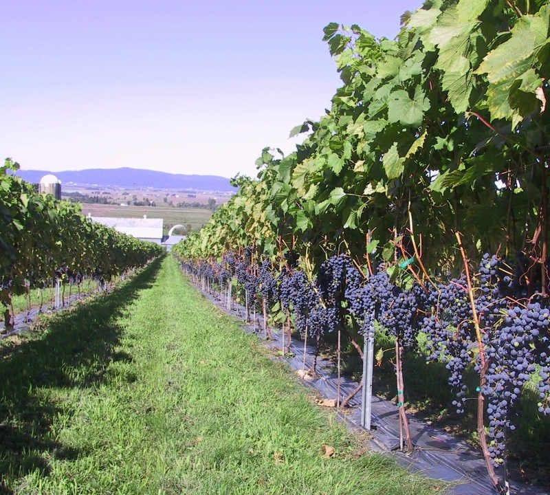 Vignoble alimentation alcool Vignoble Les Petits Cailloux Saint-Paul-d'Abbotsford Québec Ulocal produit local achat local produit du terroir