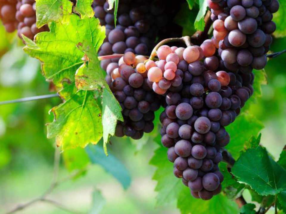 Vignoble biologique alcool alimentation Vignoble Saint-Gabriel Saint-Gabriel-de-Brandon Québec Ulocal produit local achat local produit du terroir