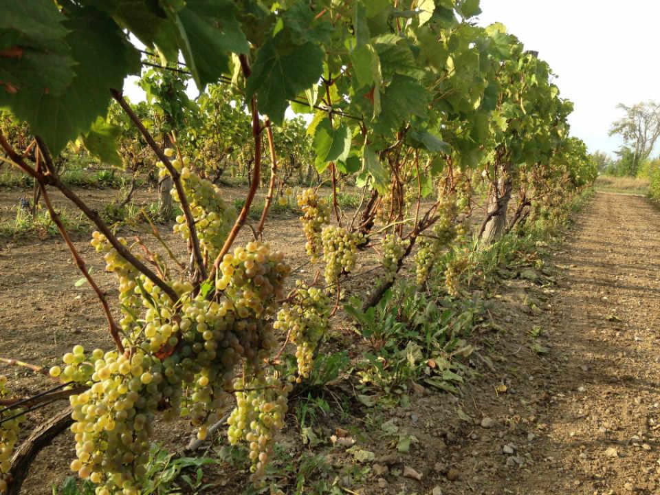 vignobles vins écologiques Vignoble Vertefeuille La Prairie Québec Ulocal produit local achat local produit du terroir