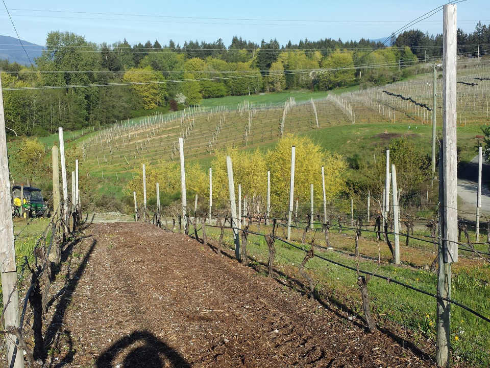 vignoble chemin dans le vignoble zanatta winery duncan colombie britannique canada ulocal produits locaux achat local produits du terroir locavore touriste