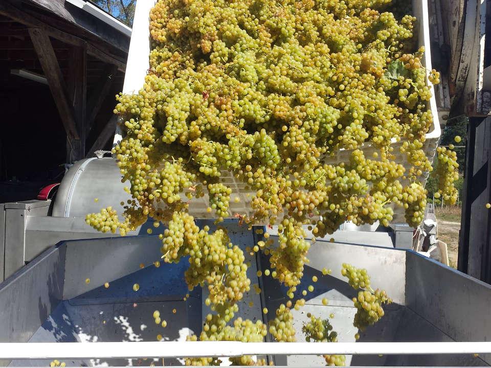 vignoble raisin vert qui tombent pour faire le vin zanatta winery duncan colombie britannique canada ulocal produits locaux achat local produits du terroir locavore touriste