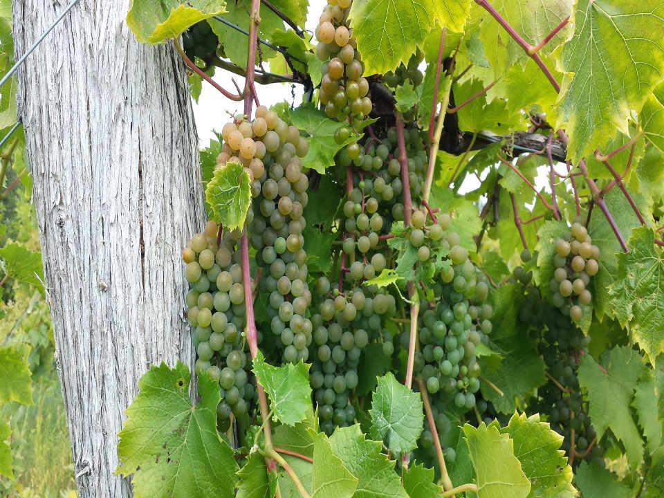 Vignoble vignes raisins Hid-In-Pines Vineyard Morrisonville New York États-Unis Ulocal produit local achat local