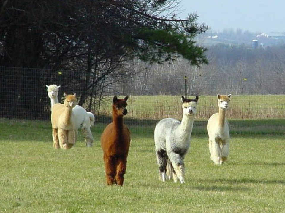 Artisan alpacas Maple View Farm Brandon Vermont USA Ulocal local product local purchase