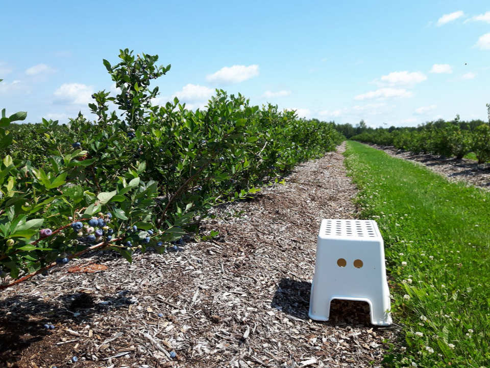 produce picking alley of the blueberry with small bench for self-picking aux saveurs de la terre saint-paul-d'abbotsford quebec canada ulocal local products local purchase local produce locavore tourist