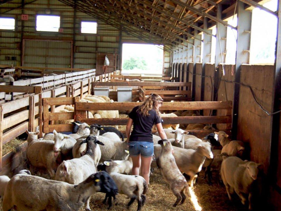 boucherie enclos de mouton dans la ferme avec femme au milieu des moutons bergerie des neiges saint-ambroise-de-kildare québec canada ulocal produits locaux achat local produits du terroir locavore touriste