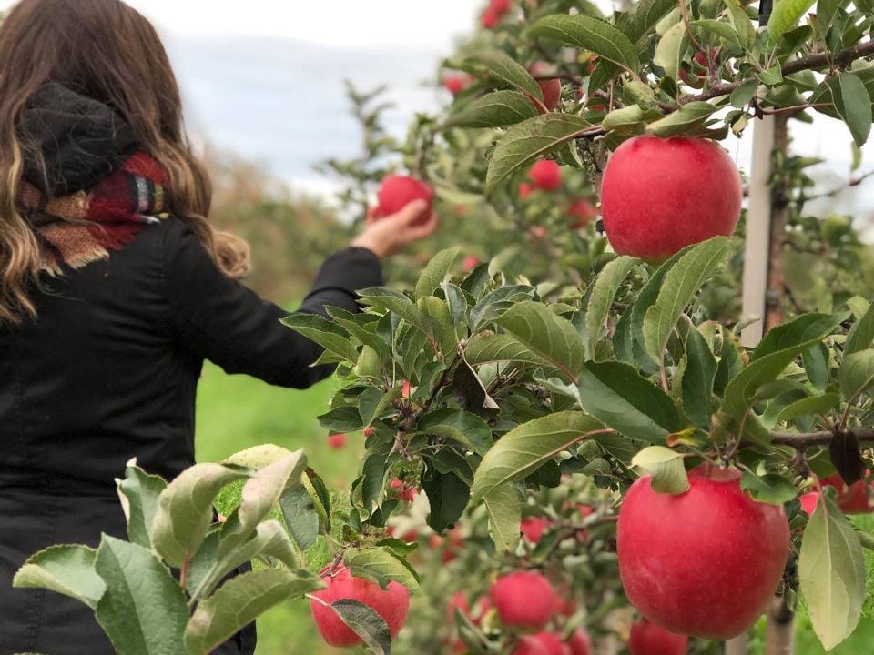 restaurant personne qui cueille des pommes dans le verger cidrerie milton sainte-cécile-de-milton québec canada ulocal produits locaux achat local produits du terroir locavore touriste