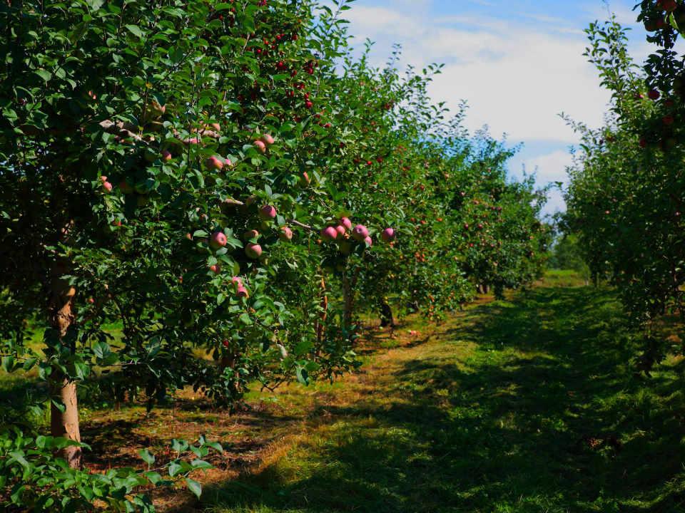 autocueillette pommes dans les arbres du verger et sentier cidrerie verger bilodeau saint-pierre québec canada ulocal produits locaux achat local produits du terroir locavore touriste