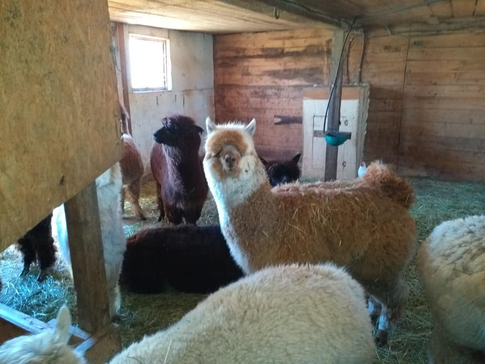 boutique alpaca lama of different colors in their enclosure ferme fibres et compagnie alpagas d'aldo st-alexandre-de-kamouraska quebec canada ulocal local products local purchase local produce locavore tourist