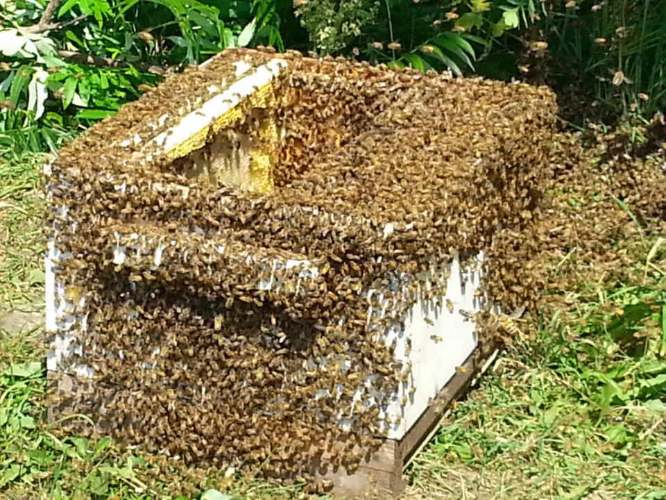 apiculteur essaim d'abeille ferme les petites écores pointe-fortune québec canada ulocal produits locaux achat local produits du terroir locavore touriste