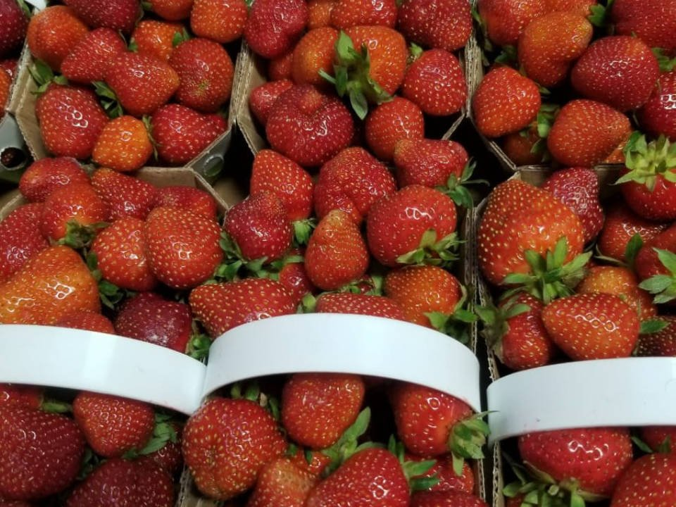 produce picking basket of freshly picked strawberries ferme sauriol laval quebec canada ulocal local products local purchase local produce locavore tourist
