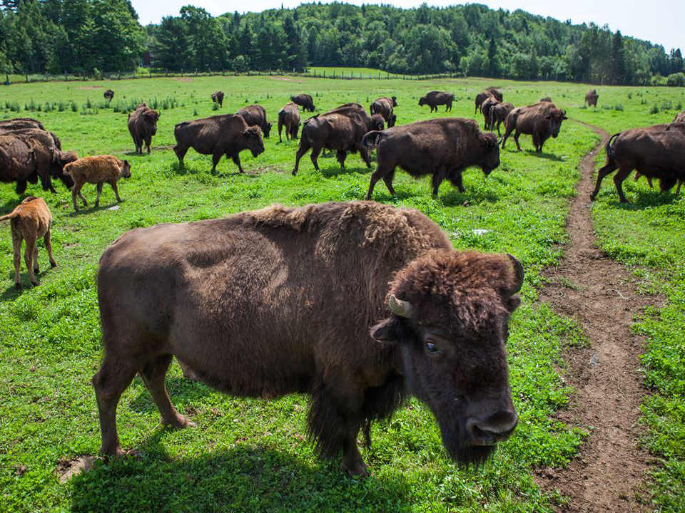 butcher shop bison free in the fields la terre des bisons rawdon quebec canada ulocal local products local purchase local produce locavore tourist