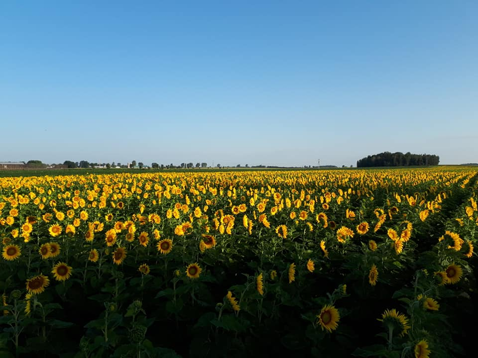 food sunflower fields in summer with a beautiful blue sky les huiles champy upton quebec canada ulocal local products local purchase local produce locavore tourist