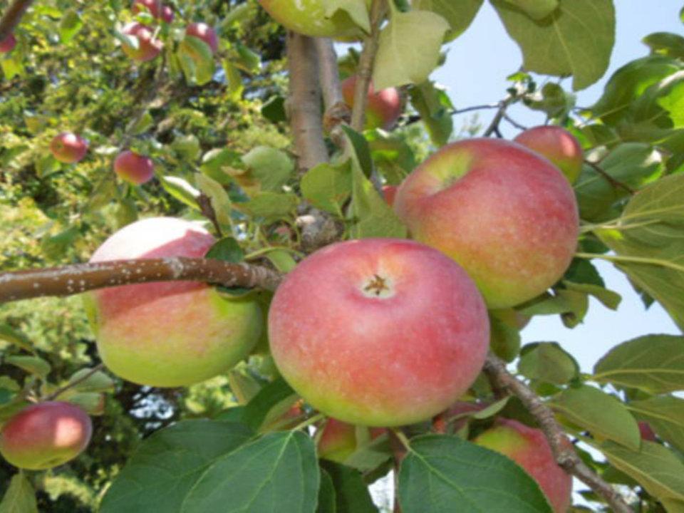 autocueillette pommes dans les arbres pommeraie dor rougemont québec canada ulocal produits locaux achat local produits du terroir locavore touriste