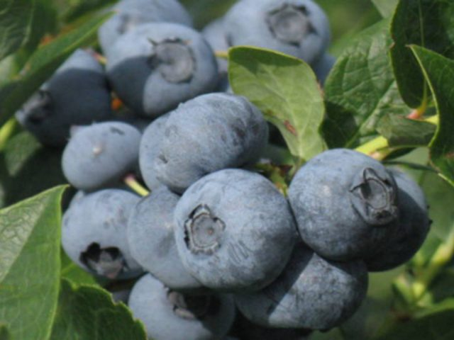 produce picking picking blueberries les petits fruits d'evélyne princeville quebec canada ulocal local products local purchase local produce locavore tourist