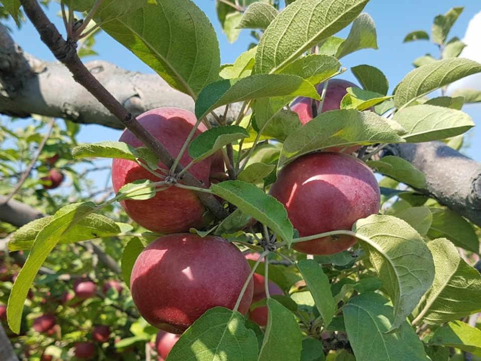 Autocueillette pommes Cueillette 640 Saint-Joseph-du-Lac Ulocal produit local achat local