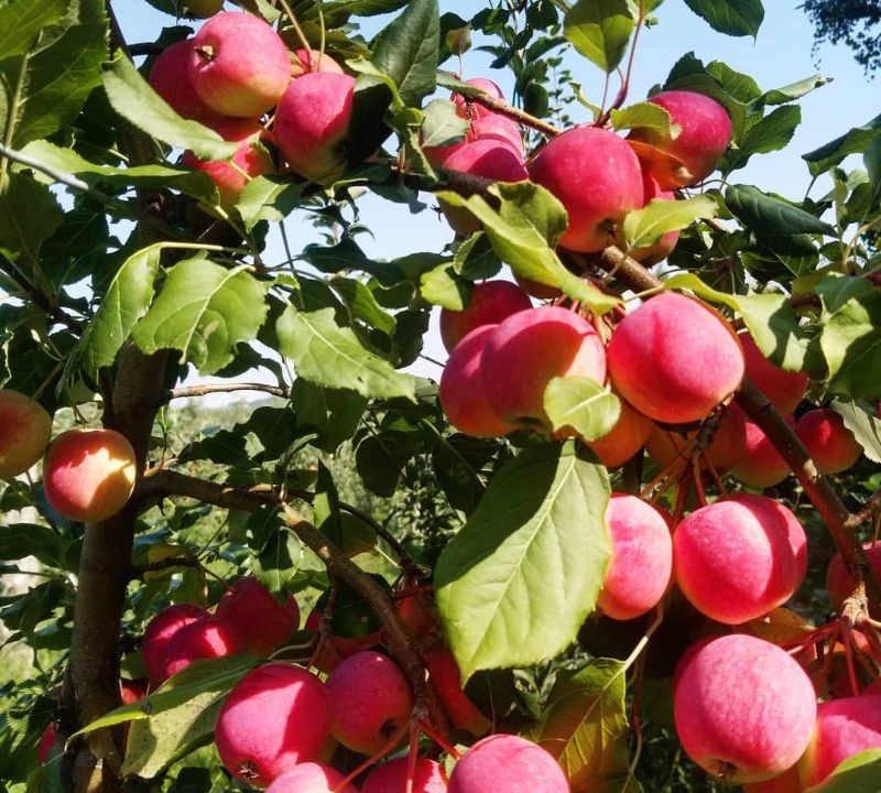 Cider house orchard maple syrup U-pick shop Domaine du Petit Saint-Joseph Saint-Joseph-du-Lac Ulocal local produce local purchase