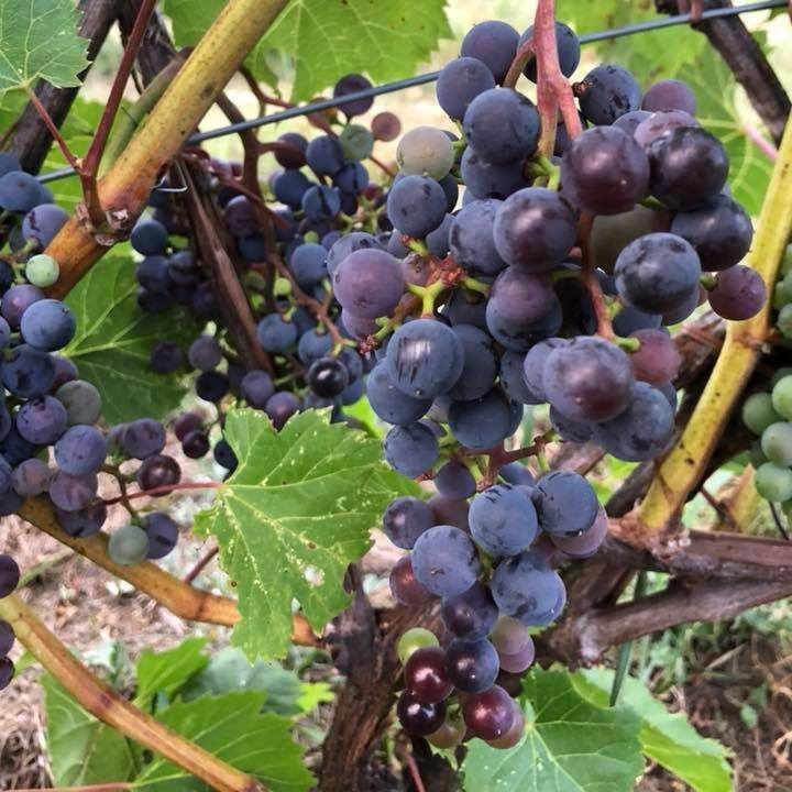 Vineyard alcohol boutique Domaine & Vins Gélinas Saint-Sévère Quebec Ulocal local product local purchase