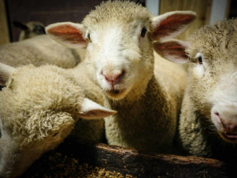 Restaurant ferme agneau Ferme du Dolmen Armagh Ulocal produit local achat local produit du terroir