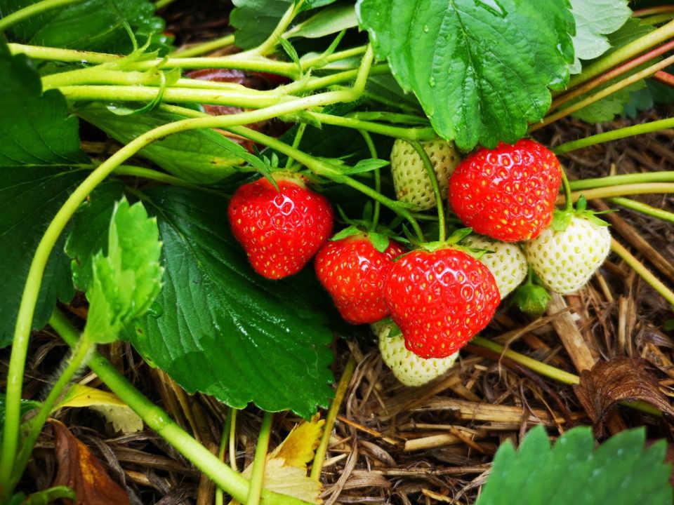 Marché de fruits et légumes autocueillette fraises camerises bleuets Ferme Guy Rivest Rawdon Ulocal produit local achat local