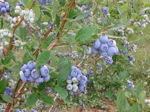 pick-your-own blueberries The Orchards Hilly Hill Hill Hinchinbrooke Ulocal local produce local purchase