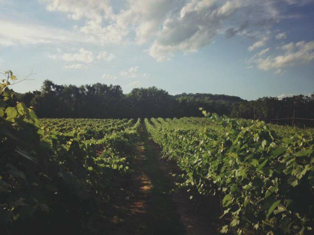vineyard vineyards with path in the center brook hollow winery columbia new jersey united states ulocal local products local purchase local produce locavore tourist
