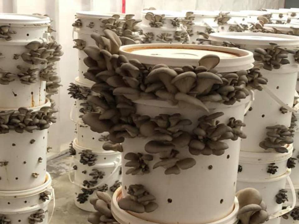 boutique aliments production de pleurotes dans la serre sur un plat de plastique blanc champignons charlevoix la malbaie quebec canada ulocal produits locaux achat local produits du terroir locavore touriste