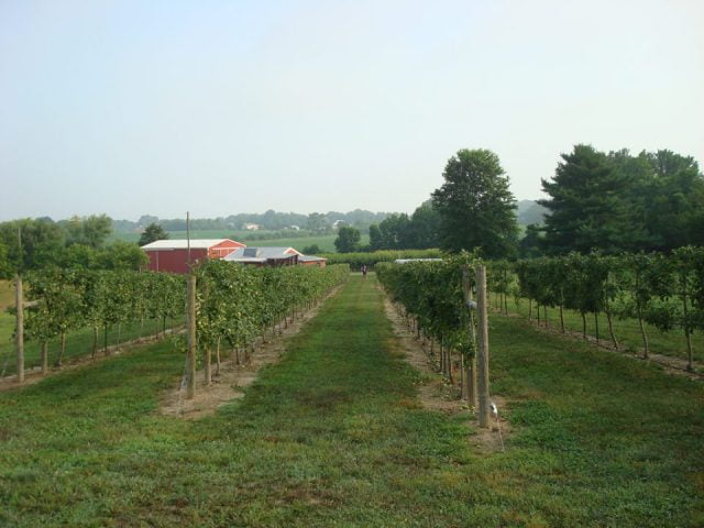 vineyard large vineyard with red farm in the distance chestnut run farm artisan winery pilesgrove new jersey united states ulocal local products local purchase local produce locavore tourist