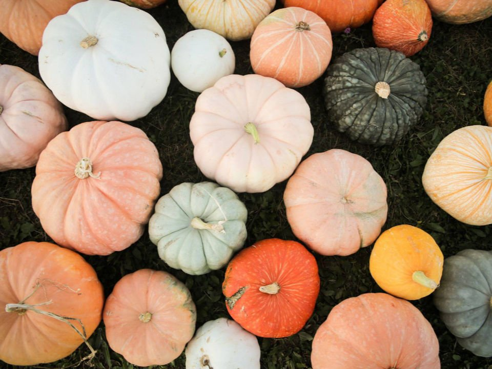produce picking pumpkins of different colors and sizes conklin farm u-pick montville new jersey united states ulocal local products local purchase local produce locavore tourist