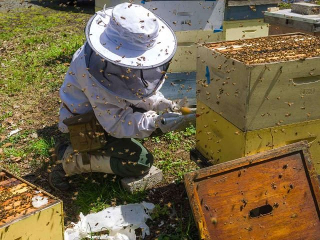 beekeeping harvesting honey in beehives with bees turning around e and m gold beekeepers tinton falls new jersey united states ulocal local products local purchase local produce locavore tourist