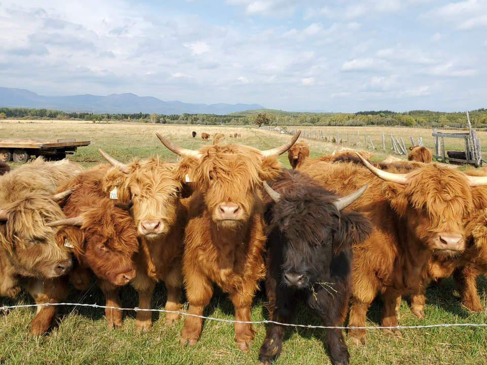 sale of meat herd of highland beef in the field ferme caprivoix saint-hilarion quebec canada ulocal local products local purchase local produce locavore tourist