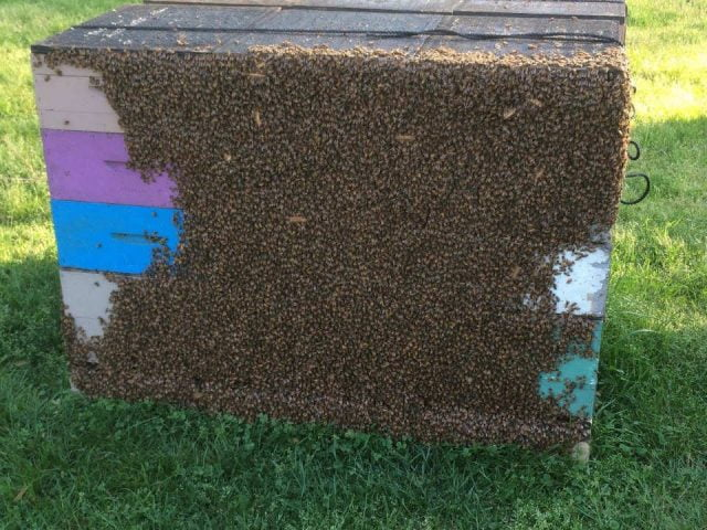 beekeeping swarm of bees on the hive harveys honey monroeville new jersey united states ulocal local products local purchase local produce locavore tourist