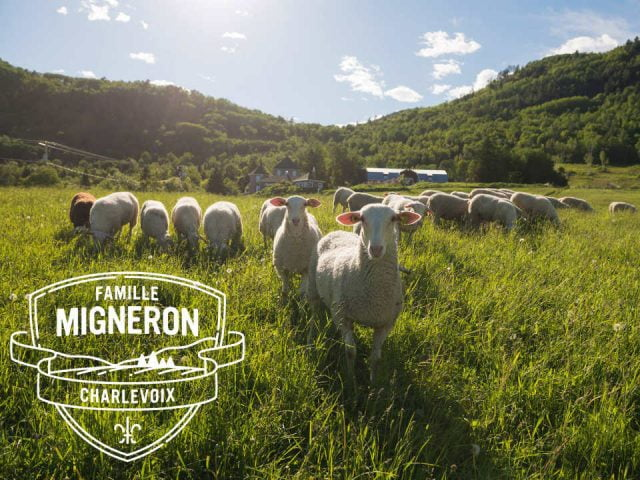 cheese factories flock of sheep in the field with the farm faraway la famille migneron de charlevoix baie-saint-paul quebec canada ulocal local products local purchase local produce locavore tourist
