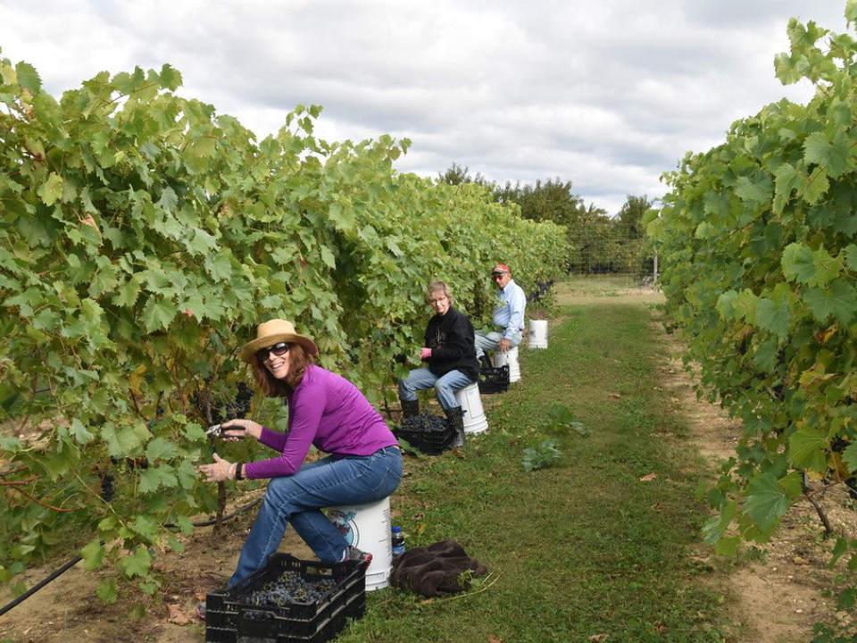 vignoble la famille qui récolte les grappes de raisins dans le vignoble monroeville vineyard and winery monroeville new jersey united states ulocal produits locaux achat local produits du terroir locavore touriste