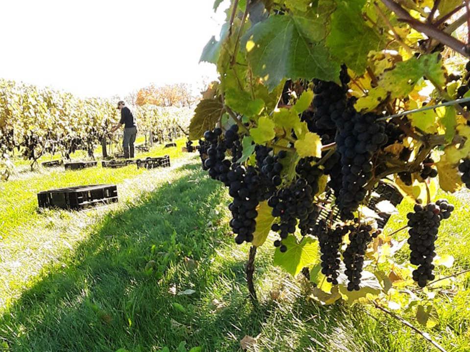 vignoble homme qui travaille et belle grappe de raisins bleus dans le vignoble tug hill vineyards lowville new york états unis ulocal produits locaux achat local produits du terroir locavore touriste