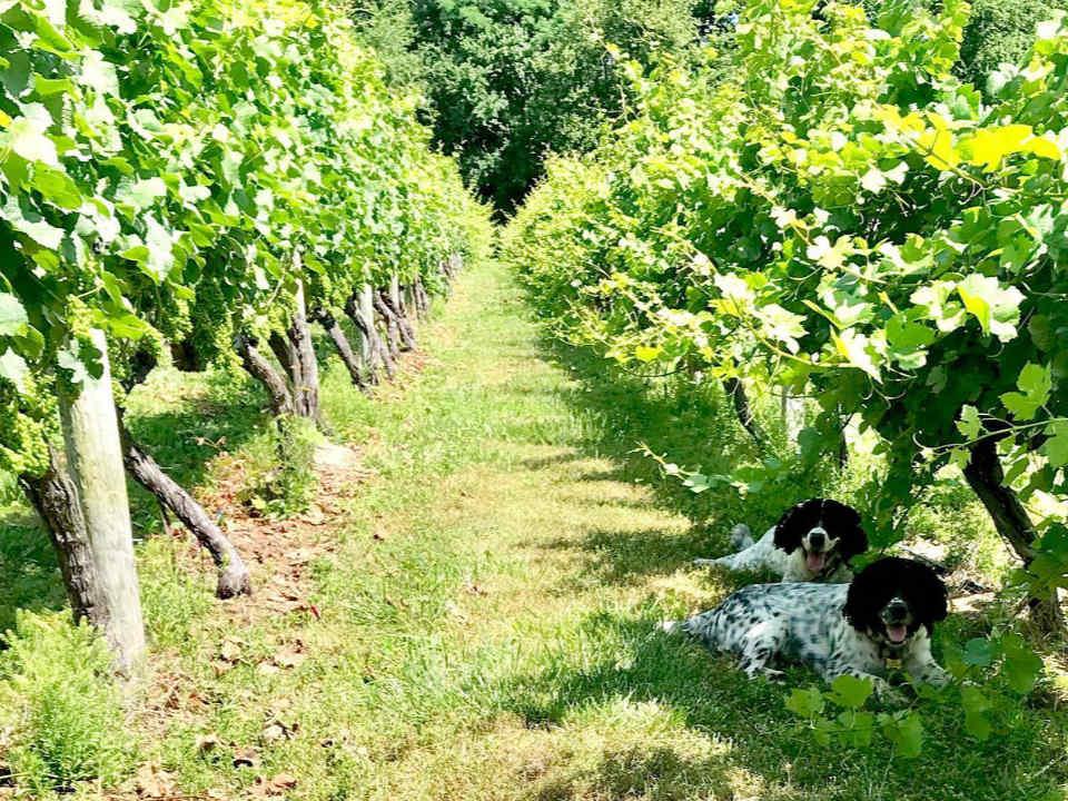 vignoble un chien noir et blanc couché dans l'allée du vignoble turdo vineyards and winery cape may new jersey états unis ulocal produits locaux achat local produits du terroir locavore touriste