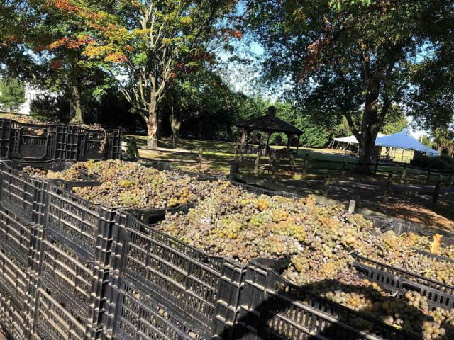 vineyard harvest of green grapes in large basket with view of the field and a pergola wagonhouse winery swedesboro new jersey united states ulocal local products local purchase local produce locavore tourist