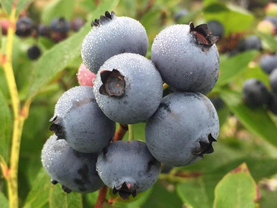 autocueillette plant de bleuets wells blueberries southampton township new jersey états unis ulocal produits locaux achat local produits du terroir locavore touriste