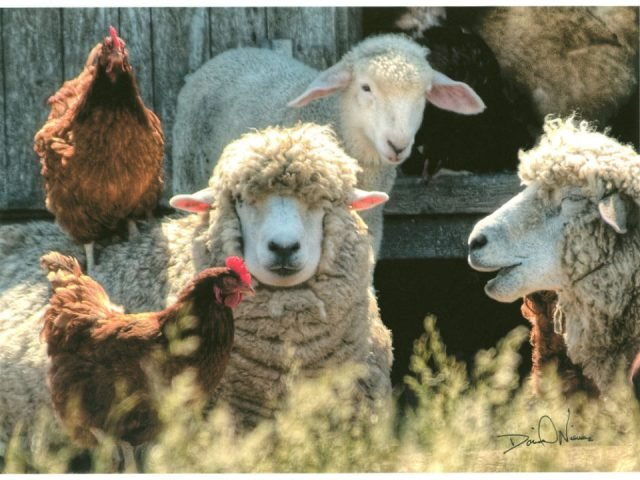 boutique sheep and hen allen farm sheep and wool co chilmark massachusetts united states ulocal local products local purchase local produce locavore tourist