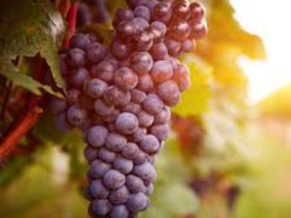 vignoble grappe de raisins rouge boos rock winery breinigsville pennsylvanie états unis ulocal produits locaux achat local produits du terroir locavore touriste
