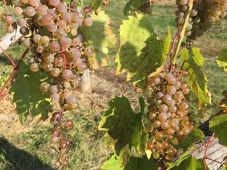vignoble grappes de raisins dans les vignes oquet valley vineyard essex new york états unis ulocal produits locaux achat local produits du terroir locavore touriste