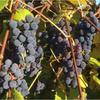 vignoble logo oquet valley vineyard essex new york états unis ulocal produits locaux achat local produits du terroir locavore touriste