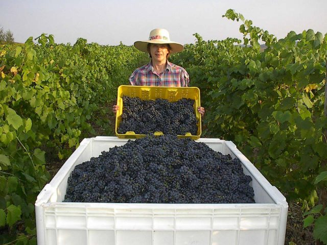 vignoble femme derrière un bac de raisins bleus dans les vignes evergreen valley estate vineyards and winery luthersburg pennsylvanie états unis ulocal produits locaux achat local produits du terroir locavore touriste