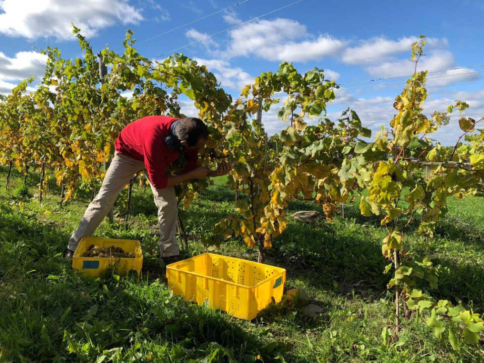 vignoble homme qui récolte le fruit des vignes forge cellars burdett new york états unis ulocal produits locaux achat local produits du terroir locavore touriste