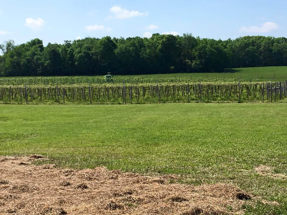 vineyards land with vineyards groundhog winery punxsutawney pennsylvania united states ulocal local products local purchase local produce locavore tourist
