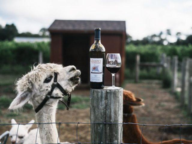 vignoble lama qui regarde bouteille et verre de vin rouge sur un poteau de la cloture de son enclos jasons vineyard jamesport new york états unis ulocal produits locaux achat local produits du terroir locavore touriste