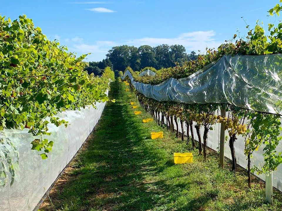 vignoble allées de vignes en été penns woods winery chadds ford pennsylvanie états unis ulocal produits locaux achat local produits du terroir locavore touriste