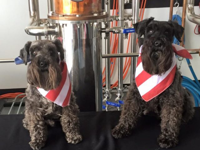 liquor two black mini schnauzers with American scarf in their necks sitting in front of the stills in the distillery black dog distillery plainfield illinois united states ulocal local products local purchase local produce locavore tourist