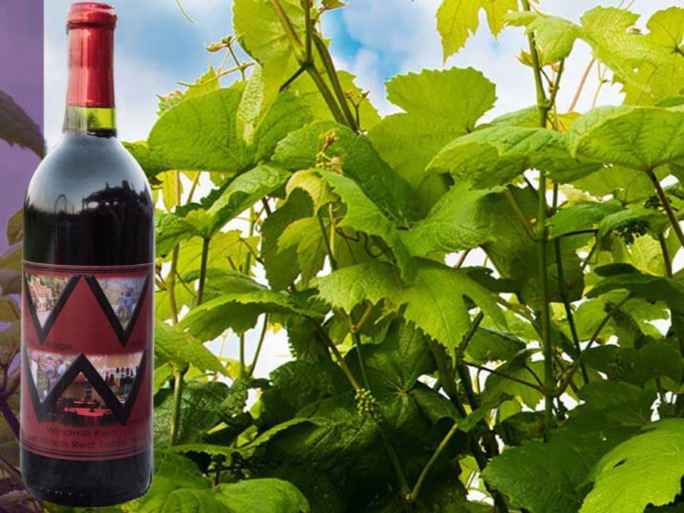 vignoble bouteille de vin rouge et vignes the village vineyard and winery camp point illinois états unis ulocal produits locaux achat local produits du terroir locavore touriste